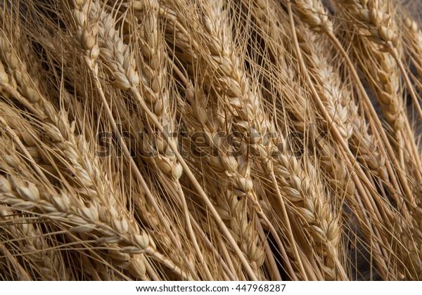 Ears of wheat closeup, harvested grain