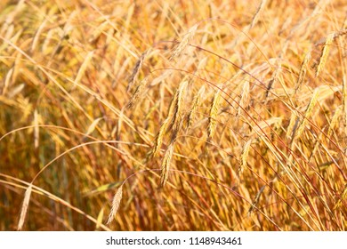 The ears of wheat. Farm field