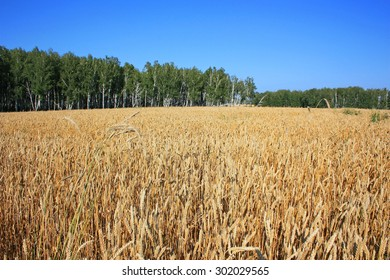 Ears of wheat in the field