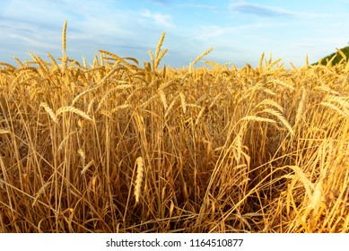 Ears of wheat. Wheat in the field. Agro industry. Country Life