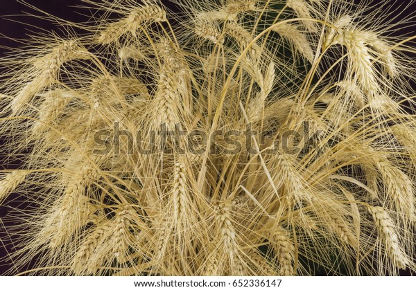 Ears of wheat on a dark background