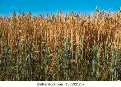 ears of wheat on the field