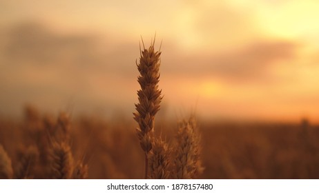 ears of wheat on the field a during sunset. wheat agriculture harvesting agribusiness concept. walk in large wheat field. large harvest of wheat in summer on the field landscape lifestyle.