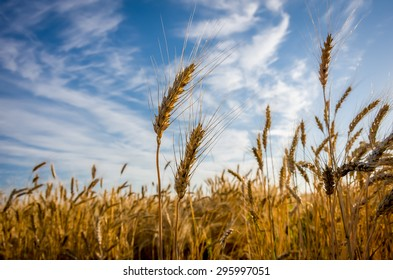 Ears of wheat ripening in the field early summer morning