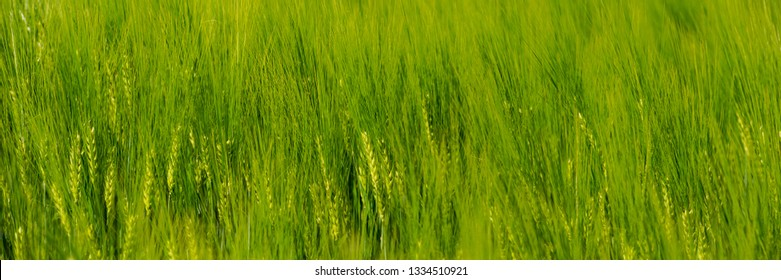ears of young green wheat sway in the wind. Web banner for your design. Ukraine. Europe.
