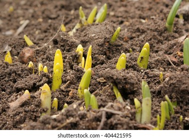 Earth day. The sprout reaches for the sky. Young germinate seedling daffodil growing from the earth soil