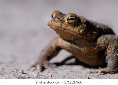 Earth toad - Bufo - sitting on a forest path - Toad migration