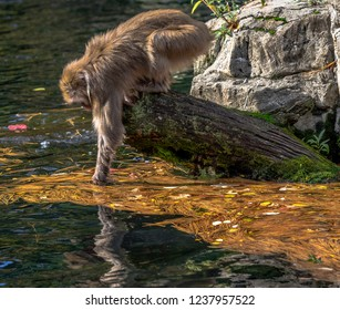 Earth Toned Fur on a Japanese Macaque Foraging from a Log in a Pond