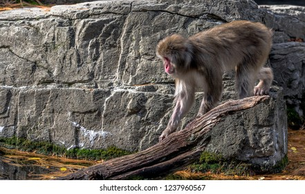 Earth Toned Fur on a Japanese Macaque Foraging on a Log in a Pond