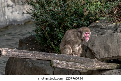 Earth Toned Fur on a Japanese Macaque Foraging on a Tree Log