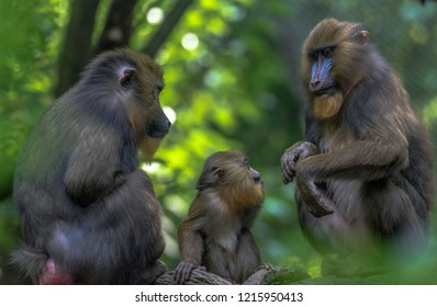 Earth Toned Fur on a Mother and Baby Mandrill with Colorful Faces