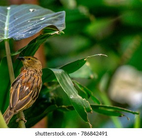 Earth Toned Plumage on a Chestnut Weaver Perched on a Stem Under a Large Leaf