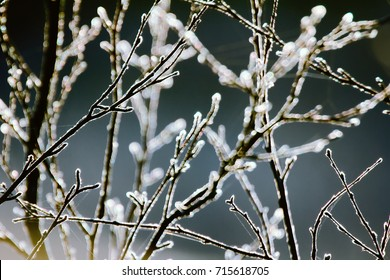 For Earth watchers, phenology. Late autumn accompanied with morning frosts, Bare trees covered with frost (snow build-up), silver thaw or icy spots phenomenon is dangerous for plants but nice to look