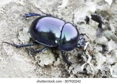 earth-boring dung beetle in natural habitat / Trypocopris vernalis