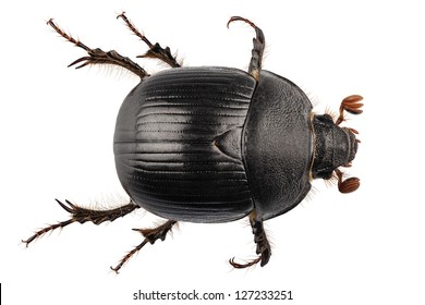 earth-boring dung beetle species Geotrupes stercorarius in high definition with extreme focus and DOF (depth of field) isolated on white background