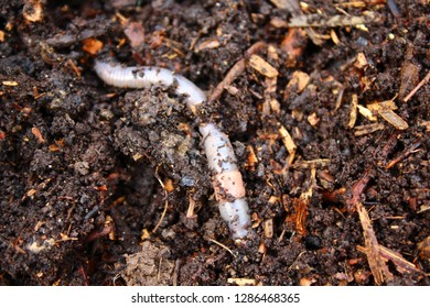 earthworm in the compost