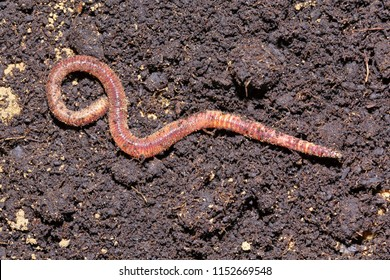 Earthworm dendrobena symbolically dissolving infinity symbol