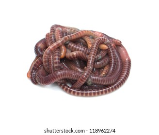 earthworm on a white background