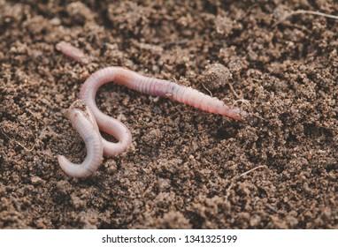 Earthworm in soil - closeup shot - Image