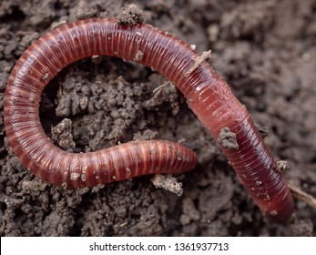 Earthworms in black soil of greenhouse. Macro Brandling, panfish, trout, tiger, red wiggler, Eisenia fetida. Garden compost and worms recycling plant waste into rich soil improver and fertilizer - Shutterstock ID 1361937713