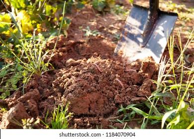 earthworms in healthy topsoil when digging after the vegetable harvest. The carefully composted soil is free of nitrates and ideal for organic cultivation of fruits and vegetables.