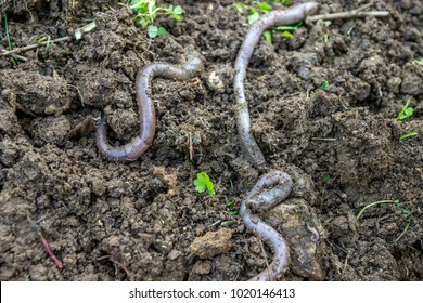 Earthworms for organic farming and agriculture, dew worms