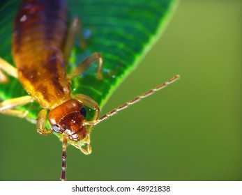 The Earwig  is sitting on the leaf