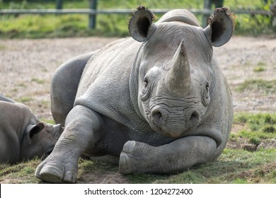 East African black rhinoceros looking straight to camera. Photographed at Port Lympne Safari Park near Ashford Kent UK.