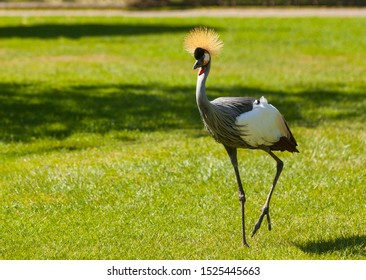 East African crowned crane walking across a meadow. Elegant bird.