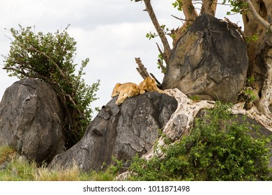 East African lion cubs (Panthera leo melanochaita), species in the family Felidae and a member of the genus Panthera, listed as vulnerable, in Serengeti National Park, Tanzania