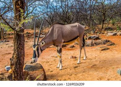 East African oryx in an African bushy landscape