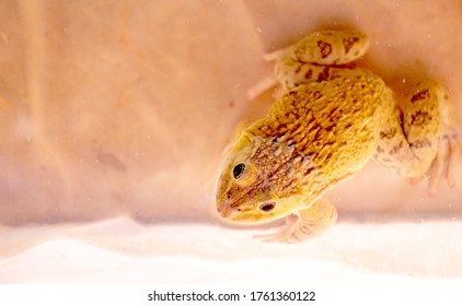 East asian bullfrog, taiwanese frog. Species of frog that is commonly cultivated for food.