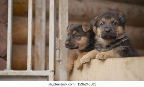 East European Shepherd Puppies. The little puppy yawns. The East-European shepherd