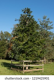 East Himalayan Fir (Abies spectabilis) with a Bright Blue Sky Background in a Park in Rural Devon, England, UK