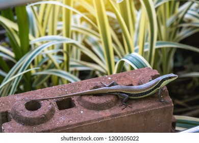 East Indian brown mabuya, Many-lined sun skink, Many-striped skink, Common sun skink (Eutropis multifasciata) on the red brick worm in the garden