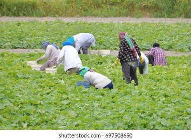 East Indian farm workers pick vegetables in a Canadian field.