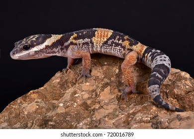 East Indian leopard gecko, Eublepharis hardwickii