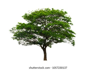 East Indian Walnut or Rain Tree isolated on white background with clipping path.