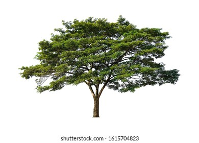 East Indian Walnut Tree or MonkeyPod Tree or Rain Tree isolated on white background, at thailand.