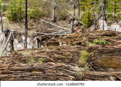 East Kootenay/British Columbia/Canada - Jun 02 2018: View Native Squirrel in the Marble Canyon forest