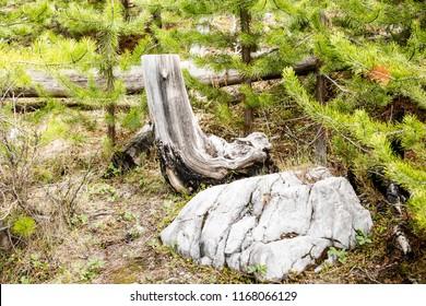 East Kootenay/British Columbia/Canada - Jun 02 2018: Native Pines tree cut in Marble Canyon