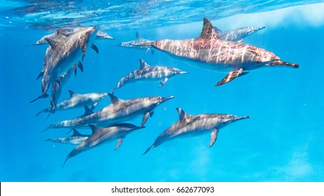 East Pacific dolphins in the Red Sea