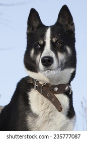 East Siberian Husky On The Hunt
