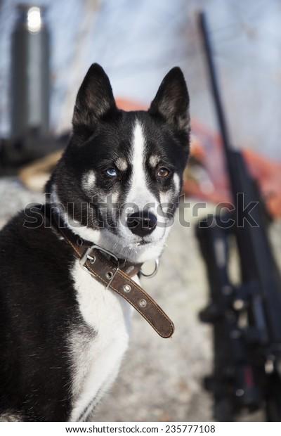 East Siberian Husky On The Hunt