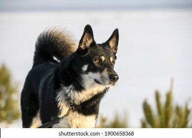 The East Siberian Laika dog on a winter snowy background.