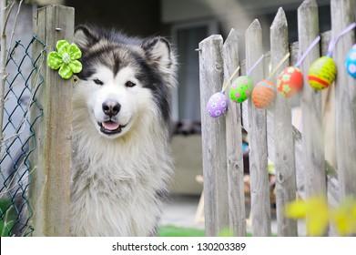 Easter and Alaskan Malamute