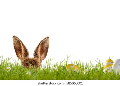 Easter bunny hiding in meadow with easter eggs, isolated on white background