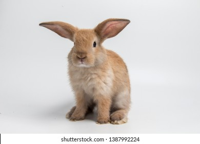 Easter bunny on white background isolated, cute rabbit, brown rabbit