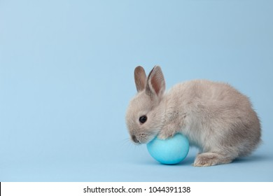 Easter bunny rabbit with blue painted egg on blue background. Easter holiday concept.