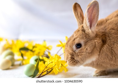 Easter Bunny Rabbit in rufus color nuzzles yellow forsythia flowers for Spring